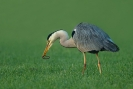 Diverse vogel soorten_10