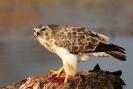 Diverse vogel soorten_8